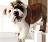 bulldogpup1
